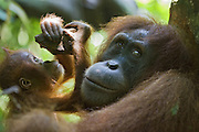 Sumatran Orangutan<br /> Pongo abelii<br /> Mother and playful 1.5 year old baby<br /> North Sumatra, Indonesia<br /> *Critically Endangered