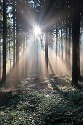 CZECH REPUBLIC VYSOCINA NEDVEZI 7OCT16 - First light on a misty autumn morning in a forest near the village of Nedvezi, Vysocina, Czech Republic.<br /> <br /> jre/Photo by Jiri Rezac<br /> <br /> © Jiri Rezac 2016