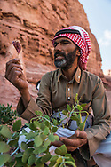 Sinai, Egypt, December 2018.  lead guide Musallam Abu Faraaj explains plants. Naqb el Kohla pass while hiking with the Tarabin Tribe through the Sinai Desert Coastal Ranges. The Sinai Trail is Egypt's 1st long distance hiking trail, running 230km from the Gulf of Aqaba to the top of the Sinai's highest mountain. It connects old trade, travel and pilgrimage routes through one of the Middle East's most iconic desert wildernesses and is managed by a cooperative of three Bedouin tribes. Photo by Frits Meyst / MeystPhoto.com
