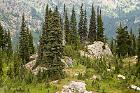 subalpine fir and mountain hemlock cling to a rocky outcrop on the slope of Naches Peak above the Rainier Fork of the American River in the William O Douglas Wilderness Wenatchee National Forest, in the Cascade Range of Washington state, USA