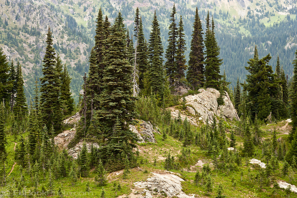 Subalpine Fir And Mountain Hemlock Cling To A Rocky
