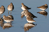 Dunlin photo Hawaii