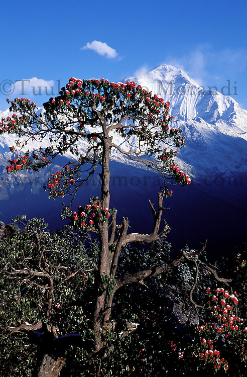 Nepal - Region des Annapurnas - Montagne Dhaulagiri - Rodhodindrons arborescents en fleur