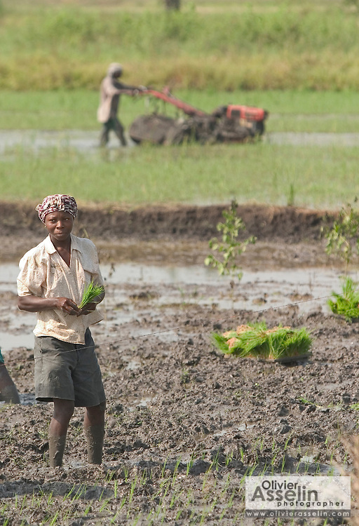 Worker planting rice in a field at Asutsuare, Ghana.
