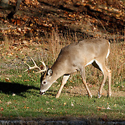 A White-tail Deer Buck, Odocoileues virginianus, at the edge of a wood in Autumn. Rifle Camp Park, Woodland Park, New Jersey, USA, North America.