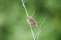 A male Song Sparrow perched on a July morning this sparrow is one of the most vocal songbirds and is widespread in the United States.