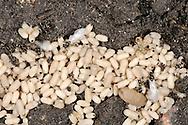 Black Ant - Lasius niger