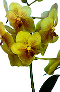 Exotic Jamaican Garden Flower - Goldeneye
