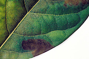 detail of a sick leaf
