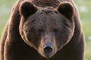 Close-up portrait of  European brown bear, Ursus arctos.