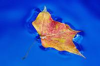An autumn leaf afloat