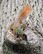 American red squirrel (Tamiasciurus hudsonicus) in a Norway Maple tree (Acer platanoides).