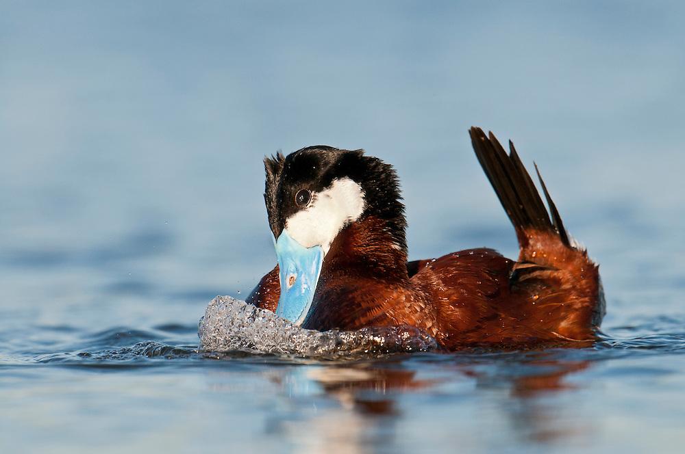 Ruddy Duck, Oxyura jamaicensis, male performing courtship display, Day County, South Dakota