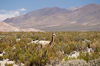 VICUÑA (Vicugna vicugna) EN LA PUNA, PROV. DE JUJUY, ARGENTINA