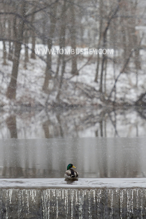 Monroe, New York - A male mallard by the waterfall at the end of the Millpond as the snow falls on March 16, 2013.