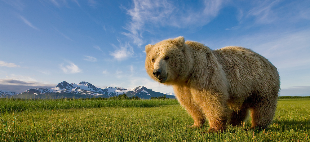 USA, Alaska, Katmai National Park, Brown Bear (Ursus arctos) standing in meadow along Hallo Bay at sunset