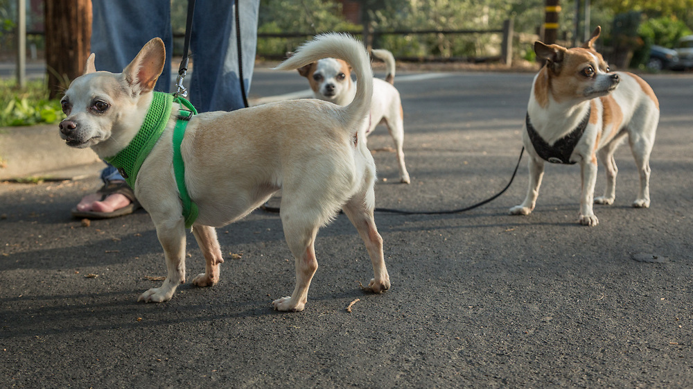 "Chef Danny Bobovnyik walks his three Chihuahuas: Sophie, Coco and Figaro on North Oak Street in Calistoga  ""Two of these are rescues...and one is a princess."""