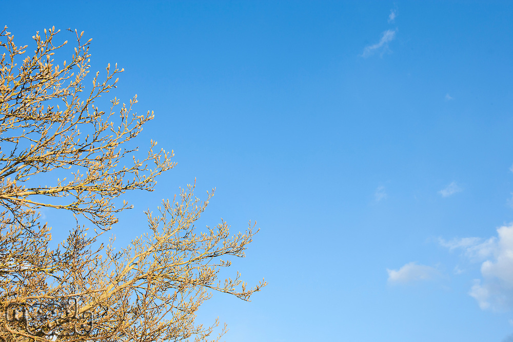 Close-up view of tree in spring against blue sky in Winter