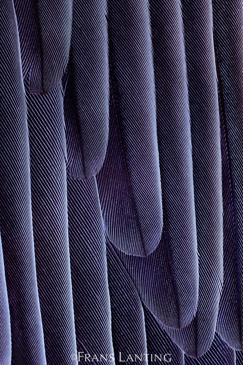 Pintail duck wing feathers, Anas acuta, Klamath Basin National Wildlife Refuge, California