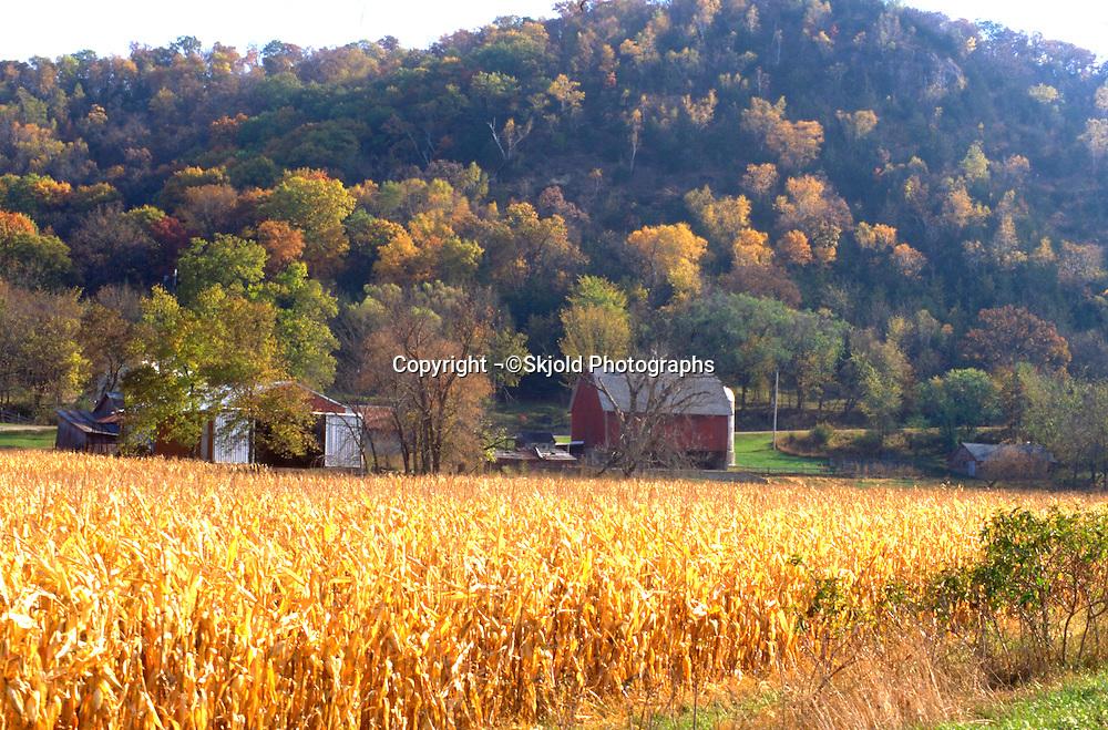 Autumn corn fields along Root River State Bicycle Trail.  Lanesboro Minnesota USA