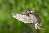 Bonte vliegenvanger