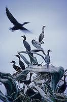 Cormorants fly, near Galiano Island, BC