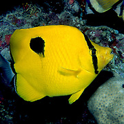 Indian Teardrop Butterflyfish inhabit reefs. Picture taken Maldives.