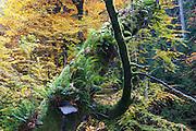 toter Baumstamm, Kamnitzklamm, Hrensko, Böhmische Schweiz, Elbsandsteingebirge, Böhmen, Tschechische Republik   dead tree, Kamnitz Gorge, Hrensko, Bohemian Switzerland, Elbe Sandstone Mountains, Bohemia, Czech Republic