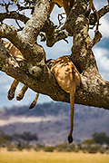 A lion pride climbed a sausage tree to sleep and escape biting flies.