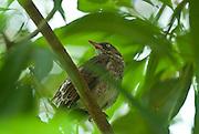 Zorzal Bird, Trujillo Alto, Puerto Rico. 2010