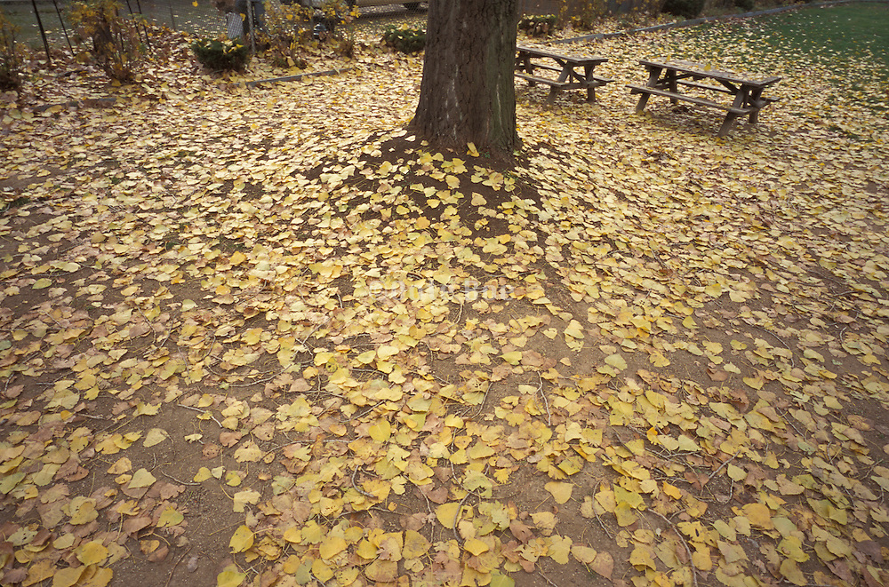 Fallen yellow autumn leaves in a park