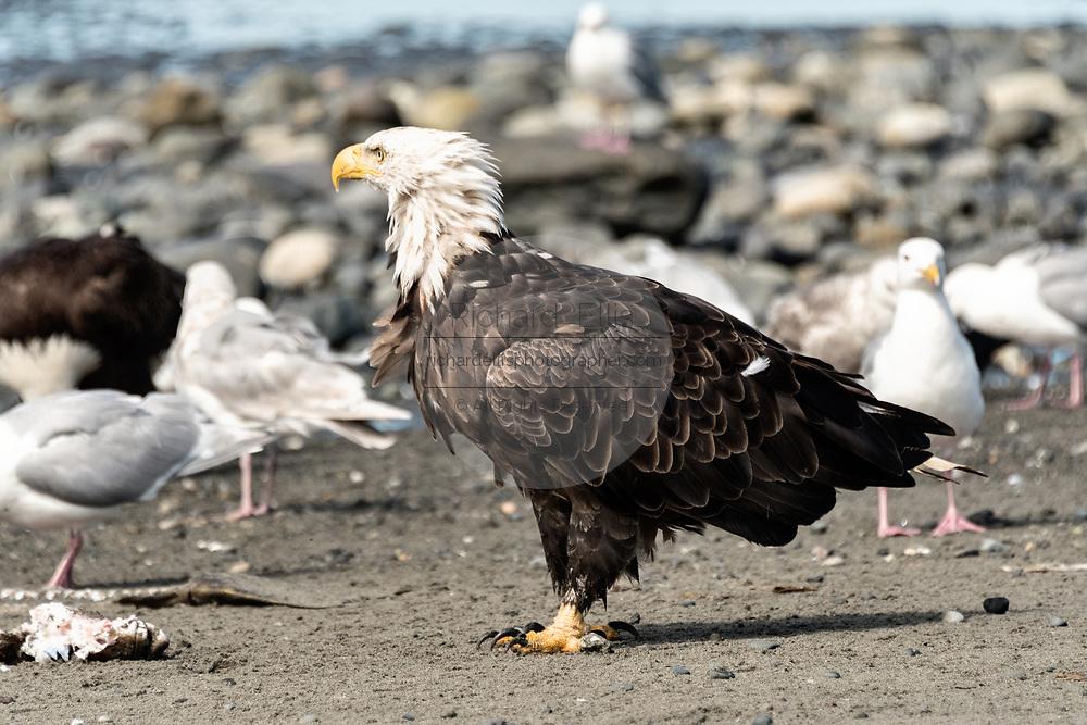 An adult bald eagle on the beach at Anchor Point, Alaska.