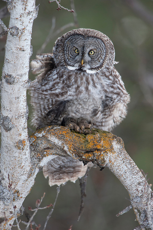 Great Gray Owl (Strix nebulosa) experiencing a gust of wind, Missoula, Montana