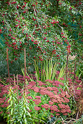 The berries of Malus hupehensis - Hupeh crab apple - syn. Malus theifera, Pyrus malus theifera with Sedum 'Autumn Joy' syn. Sedum Herbstfreude Group 'Herbstfreude' and seedheads of Digitalis ferruginea