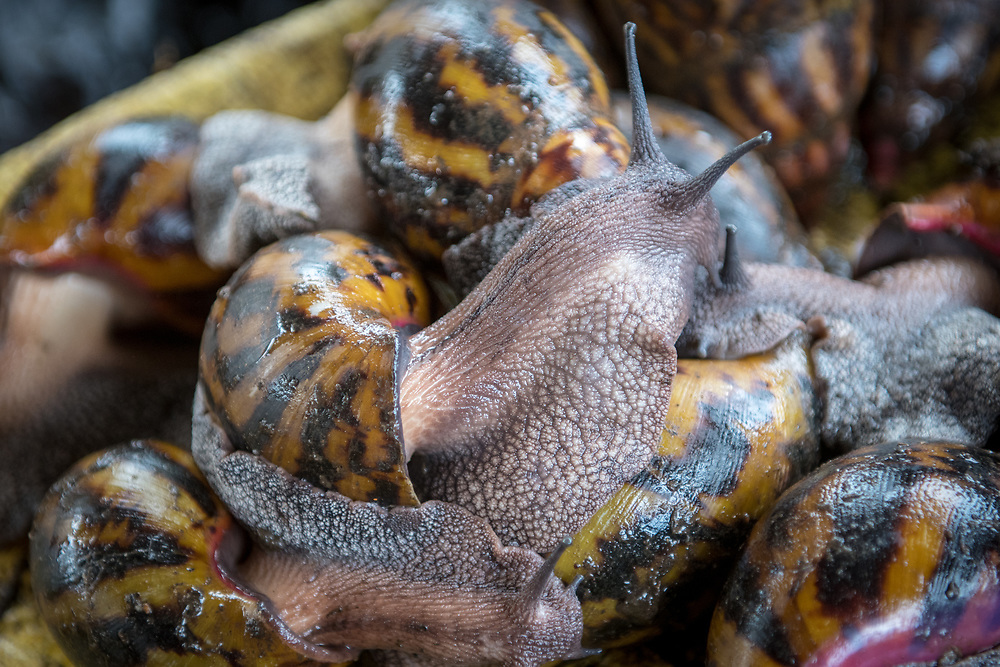 Giant African Snails (Achatina) pile up in Ganta, Liberia