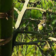 Betel Nut, Areca Catechu, Namasiya Township, Kaohsiung County, Taiwan