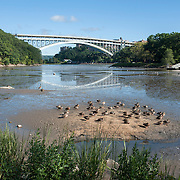 September 9, 2012 - New York, NY : Inwood Hill Park in northern Manhattan boasts cascading hills and towering forests and is easily accessible by subway. Pictured here, ducks bask in the morning sun on Sunday -- the Henry Hudson Bridge is visible in the distance. CREDIT: Karsten Moran for The New York Times