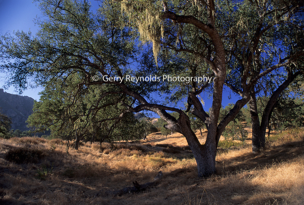 Oak Trees, oak, oak tree, Pinnacles National Monument, California , Pinnacles National Park,