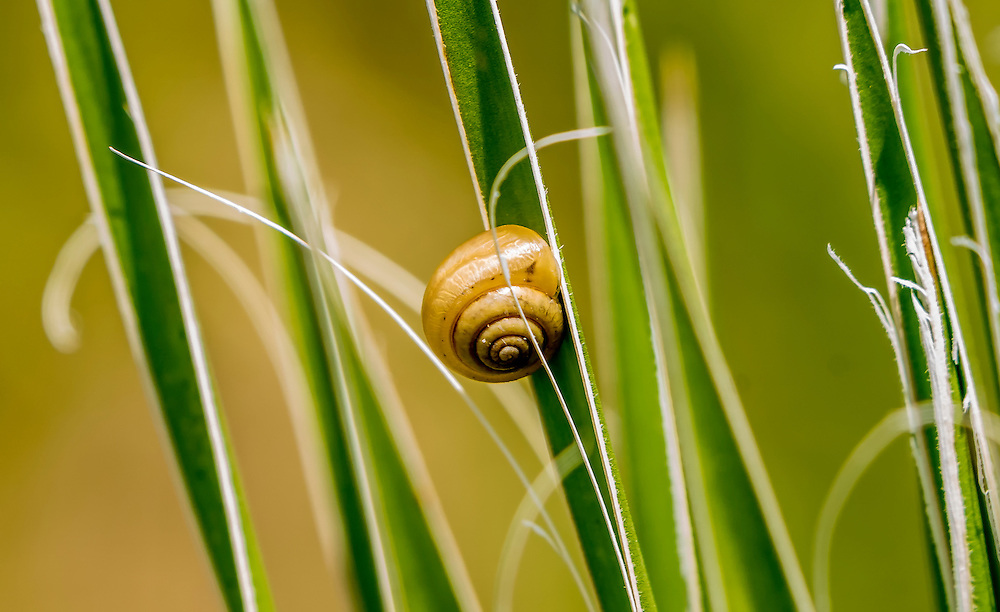 Snail, Praticolella mexicana;<br />
