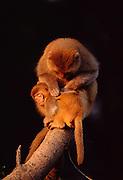 Rhesus macaque (Macaca mulatta) <br /> Bharatpur Bird Sanctuary<br /> Rajasthan,  India