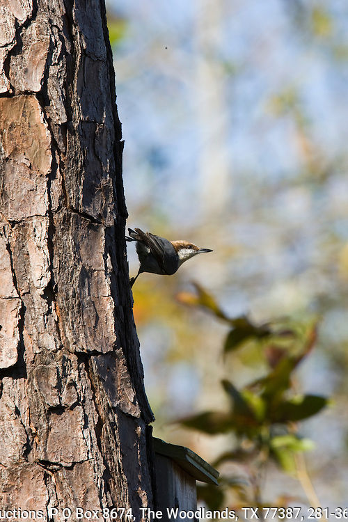 Brown-headed nuthatch,  Loblolly pine, east Texas Piney Woods. Conroe, Texas.