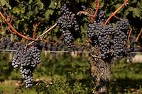 Merlot grapes at Chateau Petrus, Pomerol, France Merlot is the grape variety in Chateau Petrus wines.