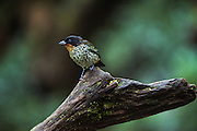 Rufous-Throated Tanager (Tangara rufigula)<br /> Mashpi Rainforest Biodiversity Reserve<br /> Pichincha<br /> Ecuador<br /> South America