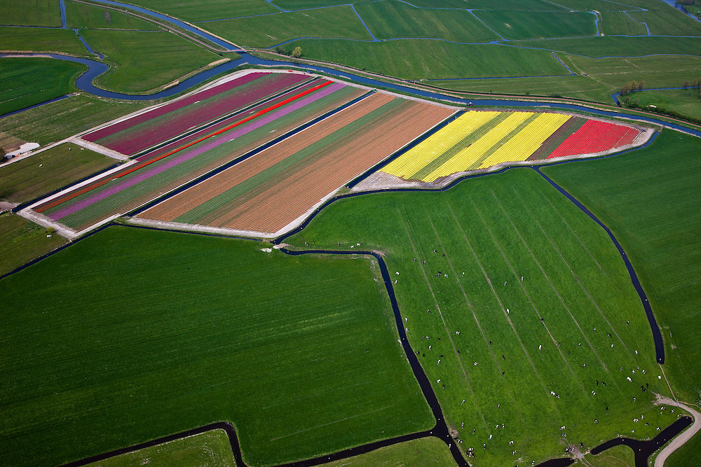 Nederland, Noord-Holland, Gemeente Bergen, 28-04-2010; Bergermeerpolder met bloembollenvelden en groene weilanden met koeien die in het voorjaar buiten lopen..Polder near Alkmaar, tulip fields and green pastures with cows..luchtfoto (toeslag), aerial photo (additional fee required).foto/photo Siebe Swart