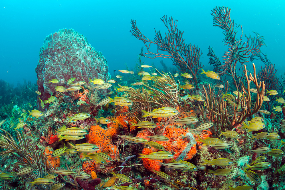 Tropical reef fish gather on the Breakers Coral Reef offshore Palm Beach, Florida, United States.