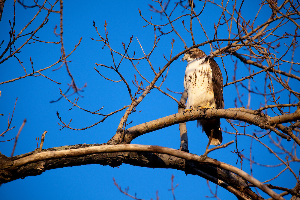 Red tailed Hawk (Buteo jamaicensis) perched in a tree at Sandy Hook National Park New Jersey