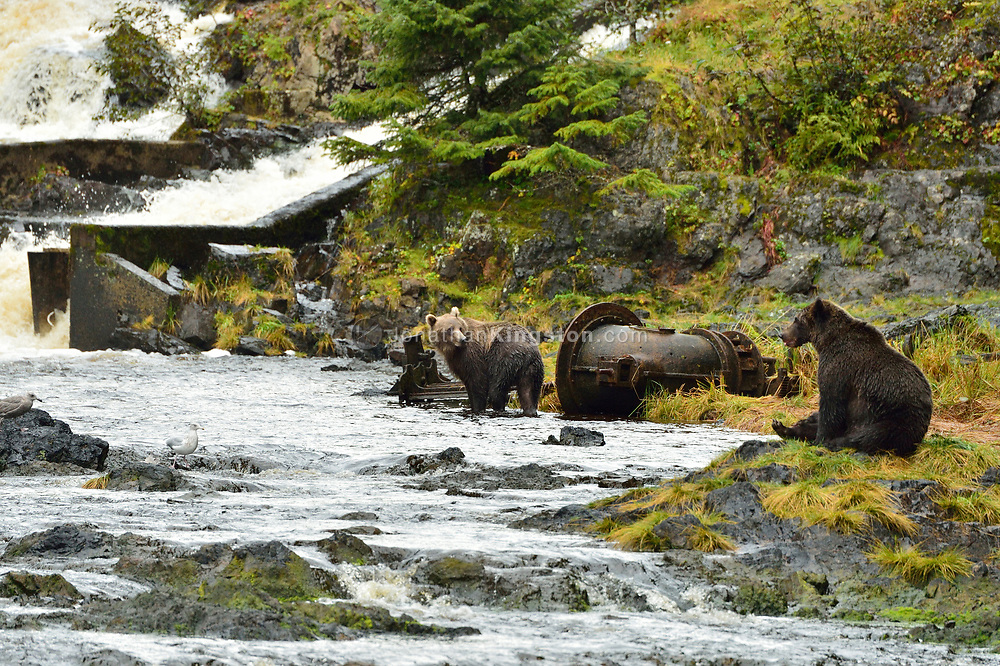 Two grizzly bears near a fish ladder on the Pavlov river, Fresh Water Bay, Chichagof Island, Alaska.