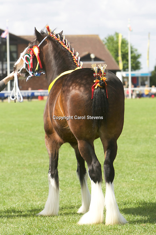 Jim &amp; Matthew Burks' DARESBROOK DIANA  Filly  f 2013<br /> Sire  Acle Fearless<br /> Dam  Daresbrook Rebecca<br /> WINNER  Barren Mare or Filly 3 Years old and upward<br /> CHAMPION SHIRE<br /> RESERVE SUPREME CHAMPION HEAVY HORSE