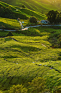 Malaysia, October 2016.  In Malaysia's largest hill-station area, fuzzy tea plantations roll into the distance. Named after explorer Sir William Cameron, who mapped the area in 1885, the Cameron Hiighlands were developed during the British colonial period. Gardens, bungalows and even a golf course sprang up during the 1930s. Mainland Malaysia is made up primary and secondary rainforest, misty tea plantations, and colonial heritage that transformed into bustling multicultural cities. Photo by Frits Meyst / MeystPhoto.com