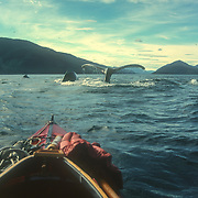 The view of a pod of humpback whales sounding from the cockpit of Duncan Murrell's Nautiraid folding kayak, Peril Strait, near Chatham Strait, Southeast Alaska, USA.<br /> <br /> I always felt completely safe in my kayak with the whales. If anyone ever asked me if I was afraid to get as close to the whales as I did, the answer was always a resounding yes because I always trusted them not to be aggressive towards me because I always tried to ensure that I posed no threat towards them. I often stayed with a pod for an entire day from morning to night and they would often surface alongside me and accompany me as if I was one of them. I became a familiar and unthreatening shape and presence to them, with no potentially deadly slashing propeller to concern them; I was virtually no different from other marine creatures like sea lions that often accompany them.